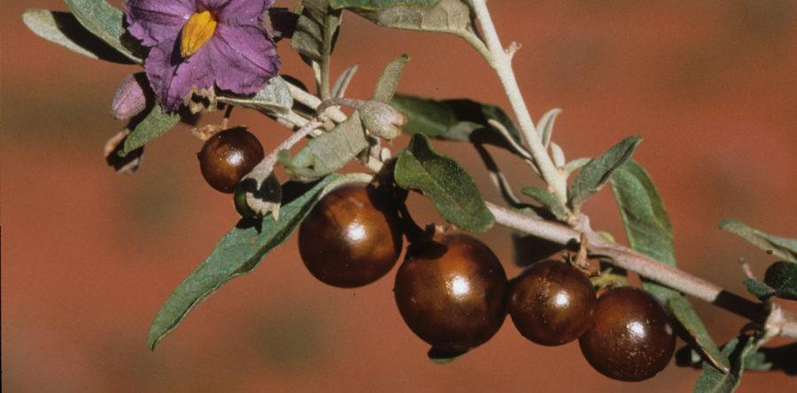 Bush Tomato