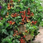 bush tomato1
